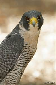Peregrine Falcon Fastest Animal On Earth