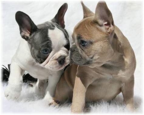 ver cachorro de bulldog frances caracteristicas de la