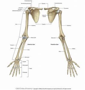 Skull  Cranium  Scapula  Vertebral Column  Upper Limb  Lo