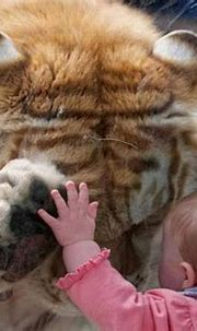 Life Style: A Gentle Tiger
