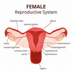 Labeled Diagram of the Female Reproductive System And Its ...