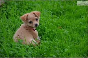 Chi-Poo - Chipoo puppy for sale near San Diego, California ...