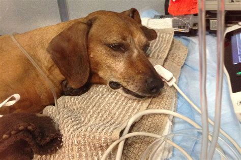 pet poison helpline top  toxins  dogs veterinary