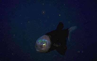 Fish Barreleye Transparent Alien Gifs Head Pacific
