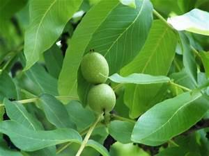 Walnussbaum Selber Pflanzen : unterlagen f r obst wein mein garten ratgeber ~ Michelbontemps.com Haus und Dekorationen