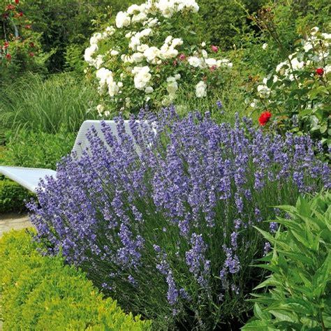 Lavendel Angustifolia 'hidcote Blue' Online Kaufen & Bestellen