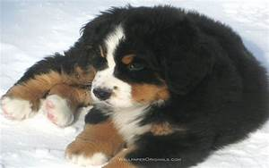 Puppies images Bernese Mountain Dog puppy HD wallpaper and ...