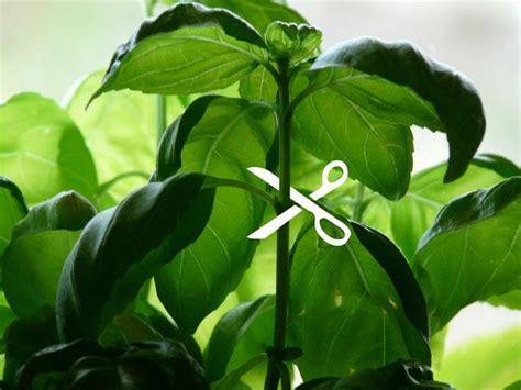 How To Prune Basil Click And Grow Blog