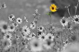 Flower Photography Sunflower Photography Black and White ...