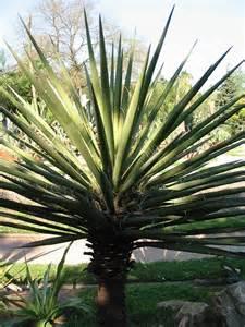 Spanish Bayonet Yucca Plant