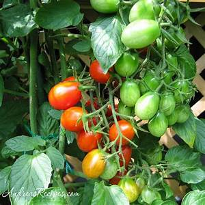 Weekend Gardening Photos: Tomatoes – Andrea Meyers