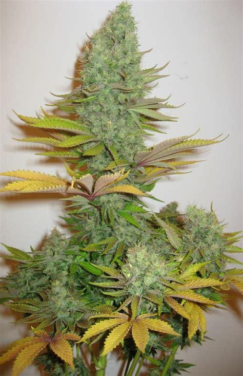 guide pour choisir votre vari 233 t 233 de marijuana du
