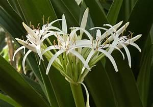 File:Crinum pedunculatum inflorescence.jpg - Wikimedia Commons