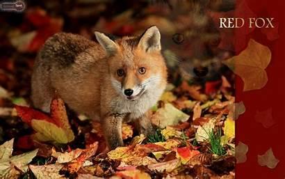 Fox Foxes Wallpapers Conure Cheeked Cheek Animalspot