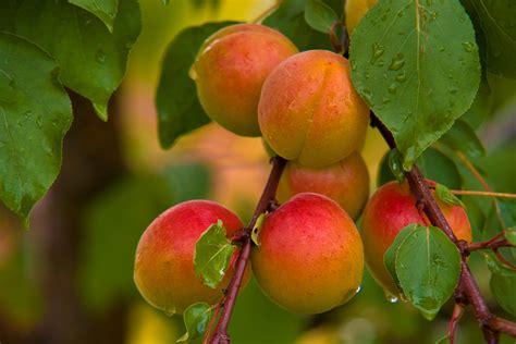 Amazing Apricot Fruit   healze.com
