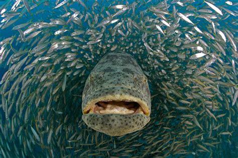 grouper goliath giant species photographer wildlife ocean seifert douglas david jewfish groupers largest mero fishing 2008 human feeding nature shell