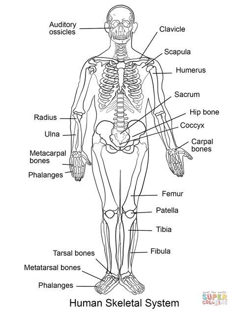 ausmalbild das menschliche skelettsystem ausmalbilder kostenlos zum ausdrucken