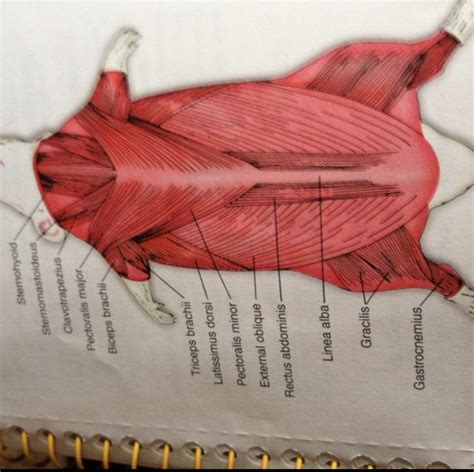 flashcards rat dissection  anatomy rat organs rat