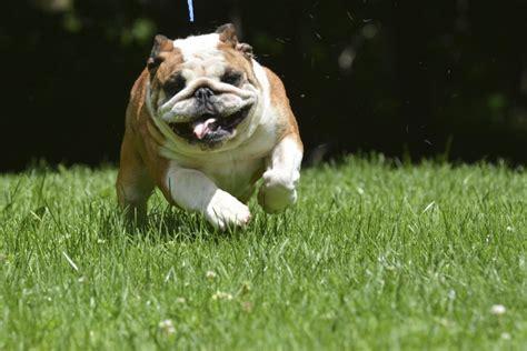 cani da appartamento taglia media piccola 10 razze di di taglia media da tenere in appartamento