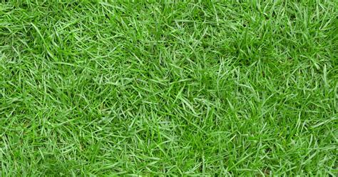 what type of grass is sod all you need to know about zoysia grass