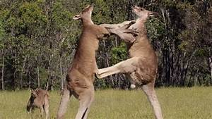 Kangaroos' No Rules Bare Knuckle Brawl