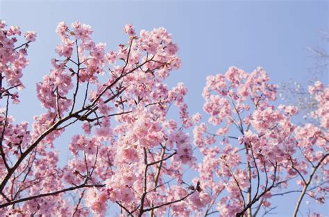 facts about cherry blossom trees 16 cherry blossoms facts cherry blossoms and blossom tree trivia