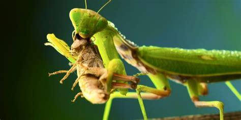 caracteristicas de la mantis religiosa