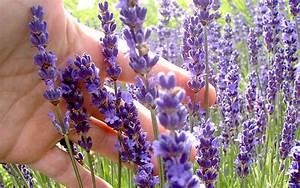 Lavendel Pflanzen Im Topf : lavendel 39 cecilia 39 pflanze lavandula angustifolia ~ Michelbontemps.com Haus und Dekorationen