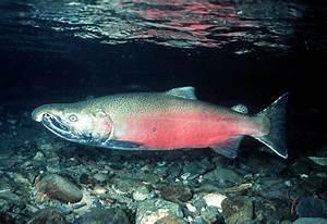 The Salmon Fish