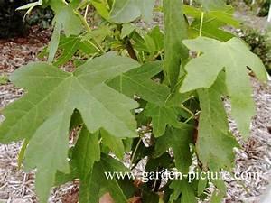 Weihrauch Pflanze Winterhart : abbildung und beschreibung von liquidambar orientalis ~ Lizthompson.info Haus und Dekorationen
