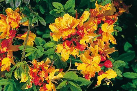 Azaleen Im Garten Richtig Pflanzen