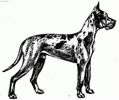 Dane Coloring Dog Pages Standard Dogge Deutsche