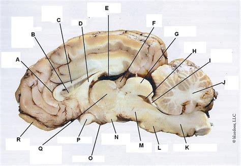 sheep brain anatomy diagram sheep brain sagittal view at virginia western community