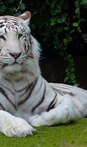 White Bengal Tiger Predator - Free photo on Pixabay