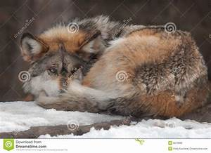 Gray, Mexican, Wolf, Curled, Up, On, Snow, Covered, Rock, Stock