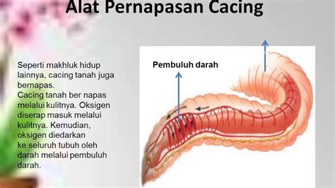 Cacing Dan Cacing Darah organ pernafasan hewan