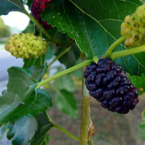 berries tree morus red mulberry tree morus rubra