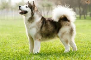Learning more about the Inuit dog breeds   Pets4Homes
