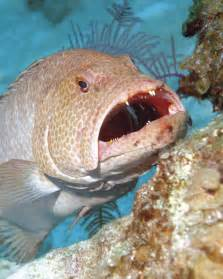 Grouper Fish with Mouths Open