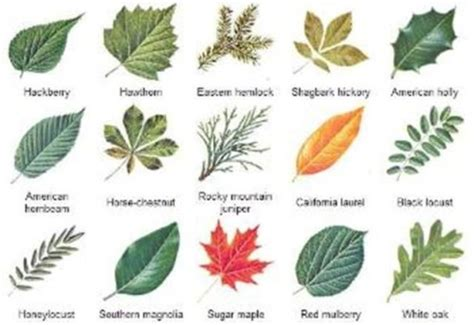 Different Types Names Of Different Types Of Leaves