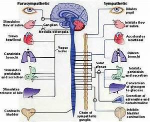 Schema Explaining How Parasympathetic And Sympathetic