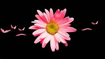 Daisy Pink Flower Wallpapers Widescreen 1080 1920