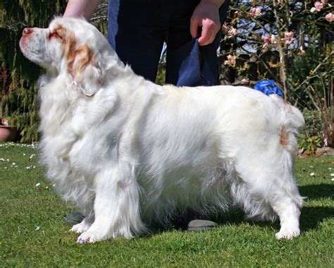 Clumber Spaniel Facts Information & New Pictures All