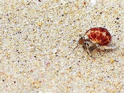 Crab Hermit Sesoko Island Shawn Helped Identification