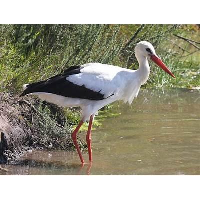 File:White Stork RWD.jpg