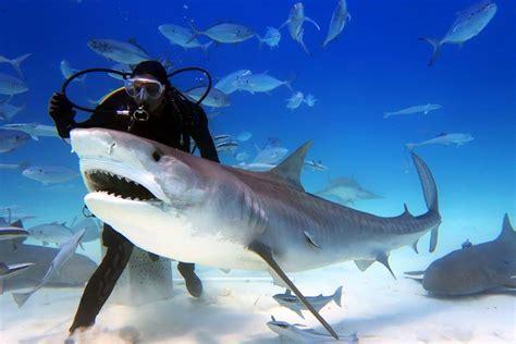 Great White Shark vs Tiger