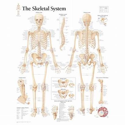 Skeletal System Anatomy Human Diagram Chart Structure