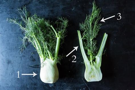 what part of fennel do you use how to buy store and use fennel