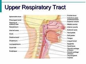 Respiratory Tract And Respiratory System Image Galleries