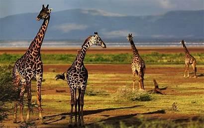 Giraffe Wallpapers Desktop Giraffes Backgrounds Computer Animal